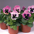 Viola \\\\\\\'Inspire Plus - Select Pink Shades\\\\\\\'