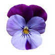 Viola \\\\\\\'Cornet Lilac Purple Wing\\\\\\\'