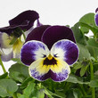 Viola \\\\\\\'Cornet Jolly Face\\\\\\\'