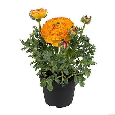 Ranunculus \\\\\\\'Sprinkles Bicolor Yellow Red\\\\\\\'