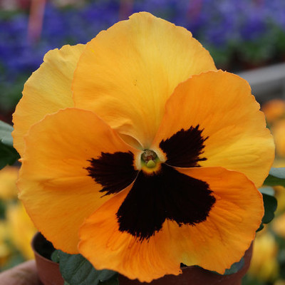 Viola \\\\\\\'Inspire Plus - Select Orange Blotch\\\\\\\'