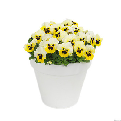 Viola \\\\\\\'Cornet Lemon Ice Blotch\\\\\\\'