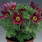 Pinwheel Dark Red