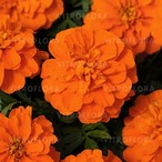 Bonanza Deep Orange