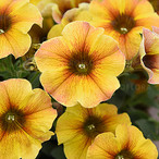 Petchoa Beautical Caramel Yellow