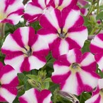 Littletunia Bicolor Illusion