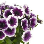 Potunia™ Plus Purple Halo