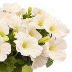 Potunia™ Plus White