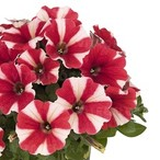 Potunia™ Red Star 2020
